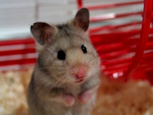 huh-hamster