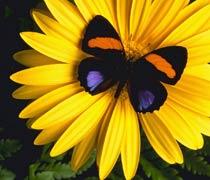 mariposa-y-girasol